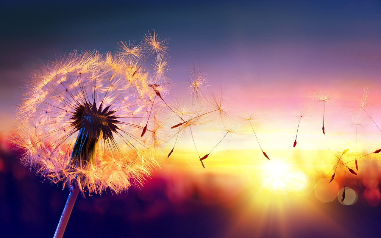 Closeup_Sunrises_and_sunsets_Dandelions