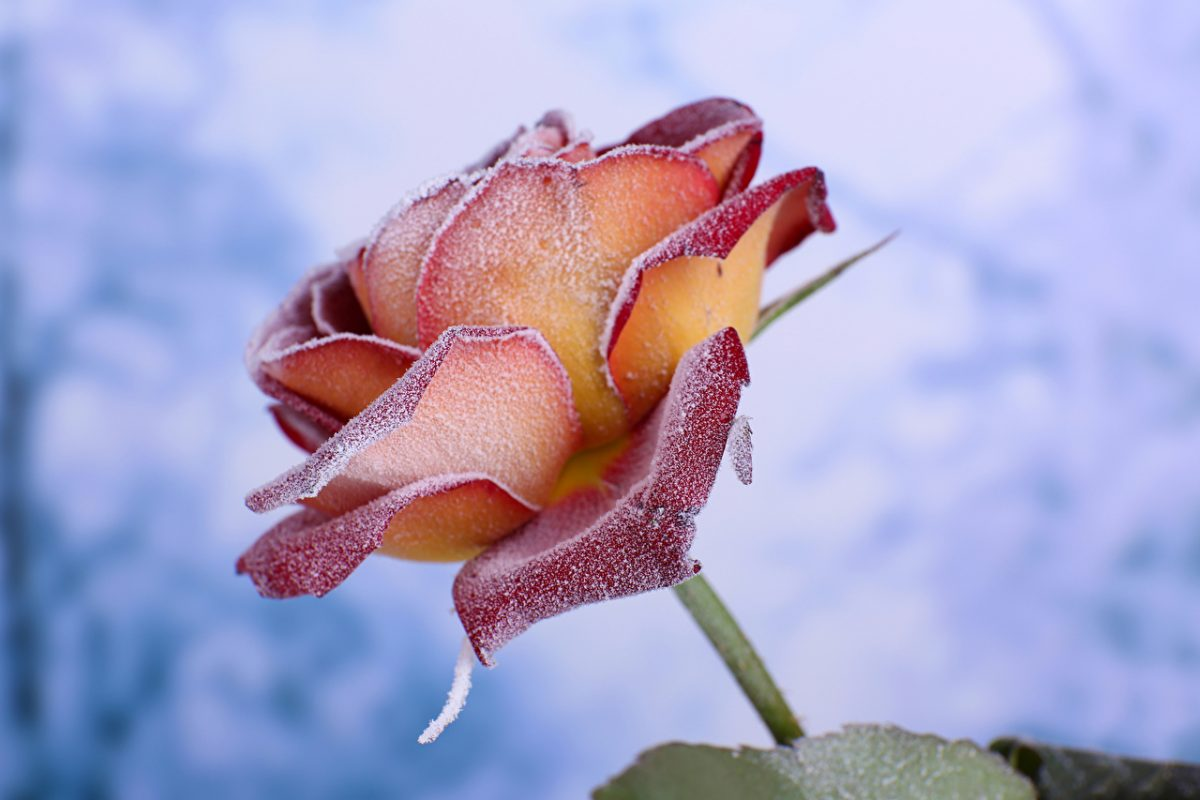 Roses_Closeup_Snow_556898_1280x853