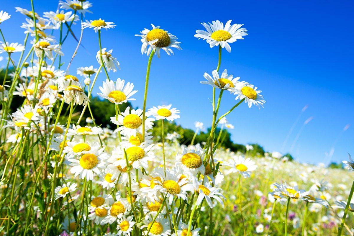 Camomiles_Grasslands_534135_1280x853