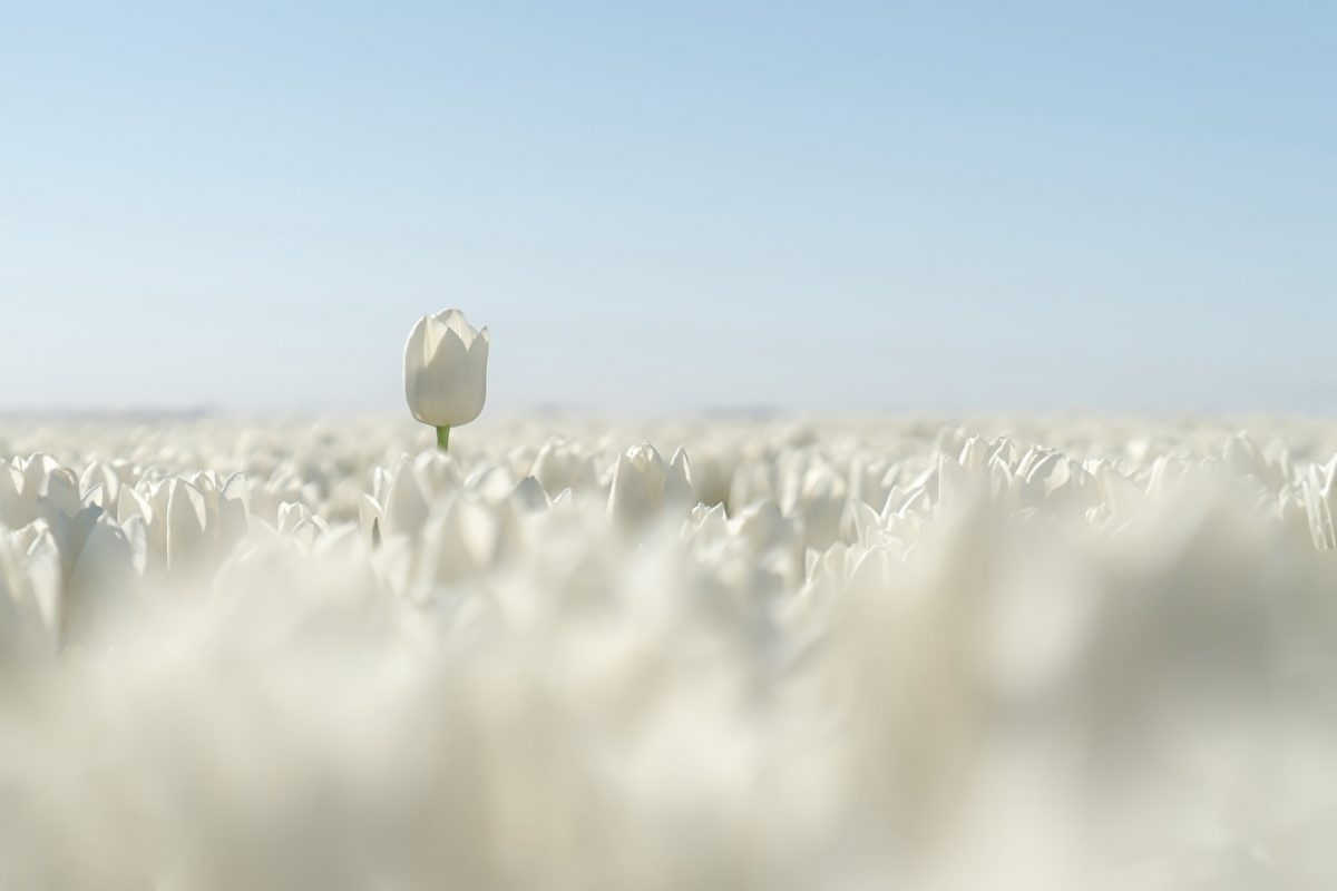 Tulips_Fields_White_589677_1280x853